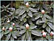 Rhododendron photo